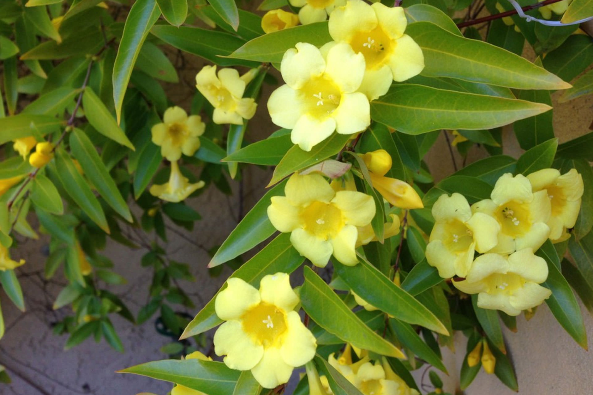 Carolina Jessamine Pergola Plants